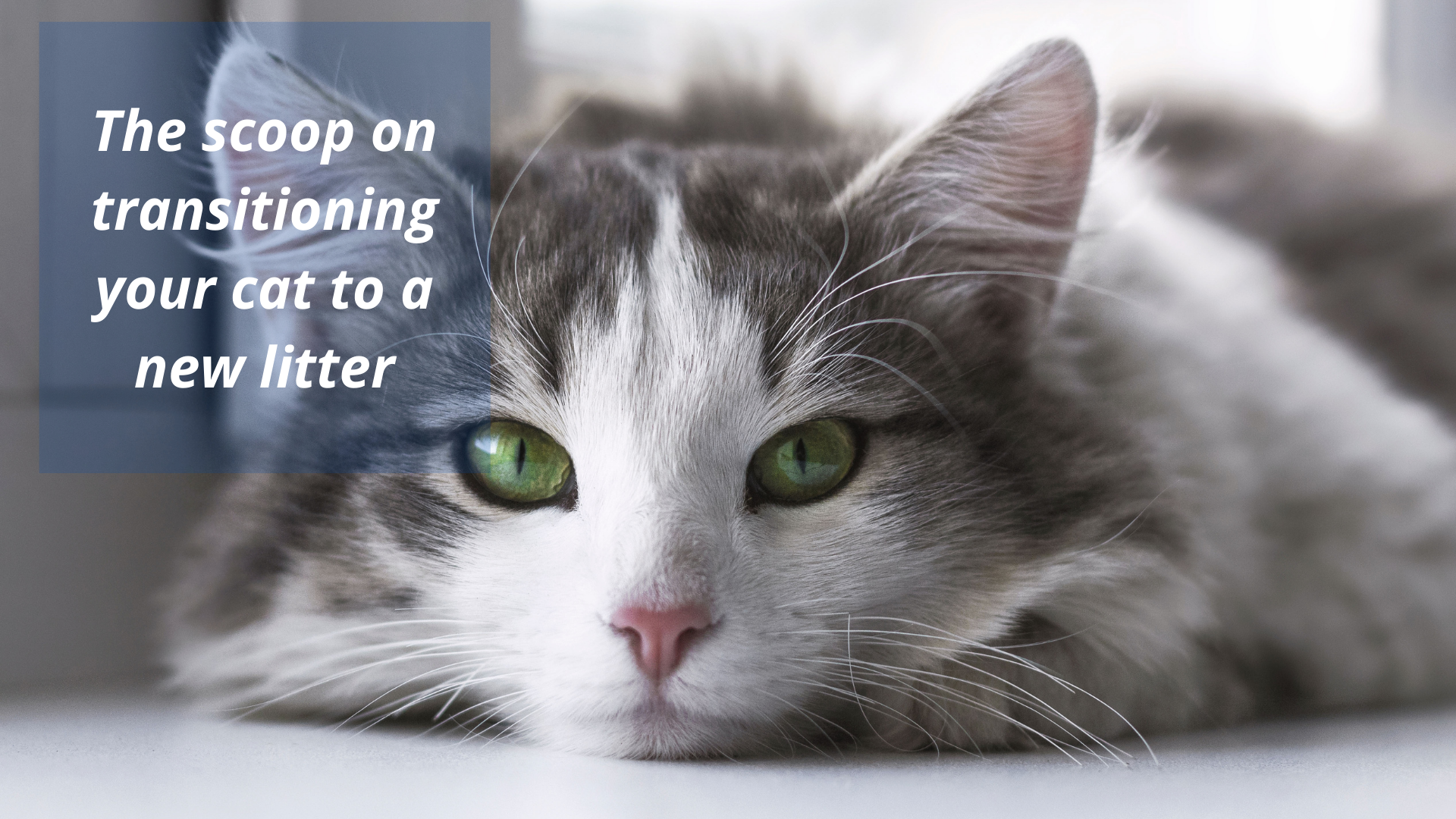 The Scoop on Transitioning Your Cat to a New Litter